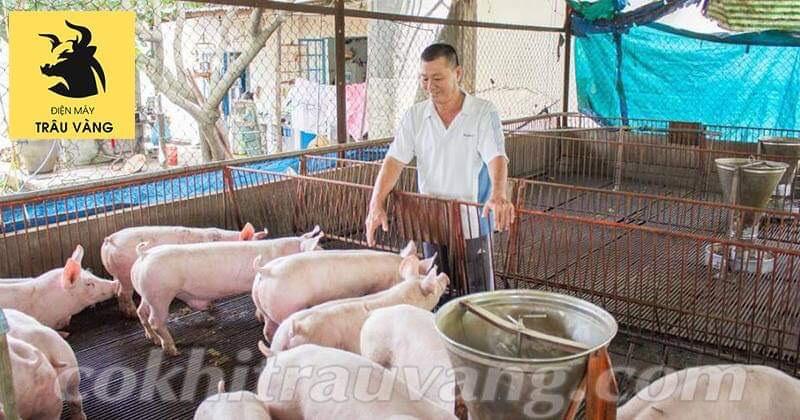 kỹ thuật nuôi lợn thịt nhanh lớn